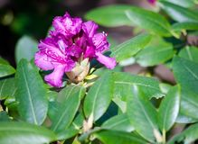 The rhododendron grows in the botanical garden. In full bloom several lilac, purple, dark flowers with a light core surrounded by green foliage, bright, sunny Royalty Free Stock Photo