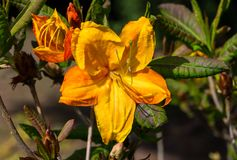 The rhododendron grows in a botanical garden. Two plant stages in one photograph, in full bloom one yellow-orange flower with a lot of buds, sunny spring day Stock Images
