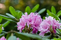 Rhododendron Haaga.  hybrid, decorative look with delicate petals of a pink flower. Rhododendron Haaga. hybrid, decorative look with delicate petals of a pink royalty free stock images