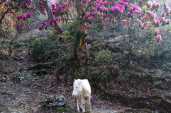 Rhododendron & horse - Nepal Royalty Free Stock Images