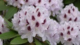 Rhododendron hybrid- Amber Kiss, rhododendronhybride stock video