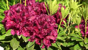 Rhododendron hybrid midnight beauty, rhododendron hybride stock video footage