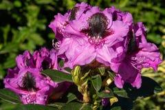 Rhododendron-hybride Känguru-Rhododendronkreuzung stockfoto