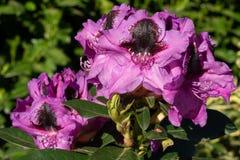 Rhododendron-hybride Känguru-Rhododendronkreuzung lizenzfreies stockfoto