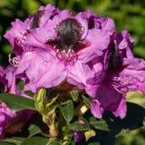 Rhododendron-hybride Känguru-Rhododendronkreuzung stockfotografie