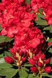 Rhododendron hybrides Rabatz, Rhododendronkreuzung lizenzfreie stockbilder
