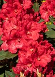 Rhododendron hybrides Rabatz, Rhododendronkreuzung lizenzfreies stockbild