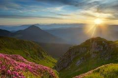 Rhododendron i berg Arkivfoto