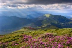 Rhododendron i Carpathiansna Arkivbilder