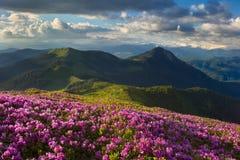 Rhododendron i Carpathiansna Arkivfoton