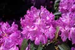 Rhododendron i ljus morgonsol Fotografering för Bildbyråer