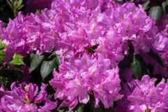 Rhododendron i ljus morgonsol Arkivbild