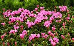 Rhododendron i nationalparken Retezat Arkivfoto
