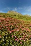 Rhododendron im Berg Stockfotos