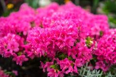 Rhododendron im Garten Stockbilder