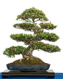 Rhododendron indicum as bonsai tree Stock Photo
