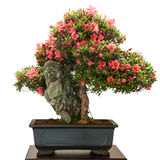 Rhododendron indicum bonsai tree with red flowers Stock Images