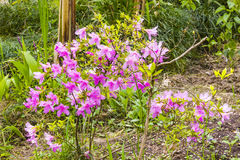 Rhododendron indicum Stock Images