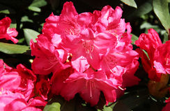 Rhododendron on the island. Of Mainau, Germany Royalty Free Stock Photo