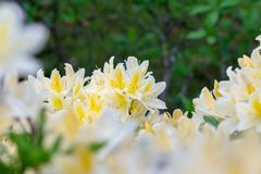 Rhododendron japanese - elegant rhododendron flower in the summer garden. Flowering rhododendron japanese - yellow-flowered form. rhododendron bloom in a summer stock image