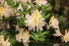 Rhododendron japanese - elegant rhododendron flower in the summer garden. Flowering rhododendron japanese - yellow-flowered form. elegant rhododendron flower in stock image