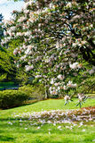 Rhododendron  in Japanese garden during Stock Images