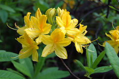 Rhododendron Japanese yellow Stock Images