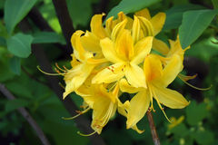 Rhododendron Japanese yellow Royalty Free Stock Photography