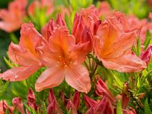Rhododendron japonicum. Beautiful red flower Stock Image