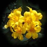 Rhododendron jaune Photographie stock libre de droits