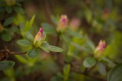 Rhododendron kiusianum hybrid weesenstein. Rare plant stock photography