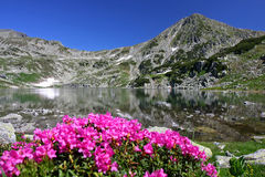 Rhododendron on lakeside. Crystal lake and fresh rhododendron flowers give a wonderfull view toward the peak. Bucura Lake, the biggest lake in Romania, Retezat Royalty Free Stock Photo