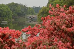 Rhododendron landscape in the garden stock photography