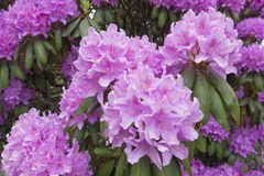 Rhododendron with large showy flowers Royalty Free Stock Photo