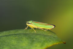 Rhododendron Leafhopper on a leaf Stock Photo