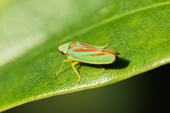 Rhododendron leafhopper on a leaf Stock Image