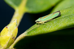 Rhododendron Leafhopper on a leaf Royalty Free Stock Photos