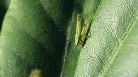 Rhododendron Leafhopper video clip stock video footage