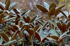 Rhododendron leaves. Coseup image of Rhododendron tree without blossoms in botanical garden Stock Photos