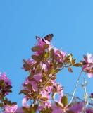 Rhododendron Ledebour Stockfoto