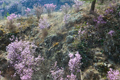 Rhododendron Ledebour Stock Photo