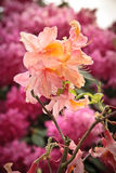 Rhododendron in London Park. Blooming azalea bush in a London park Stock Image