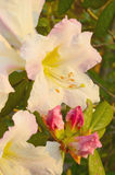 Wildflowers Rhododendron ludwigianum Hoss (White R Royalty Free Stock Photography