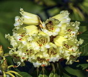 Rhododendron macabeanum flowers Stock Photography