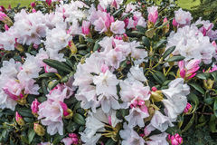 Rhododendron Macro Royalty Free Stock Photos