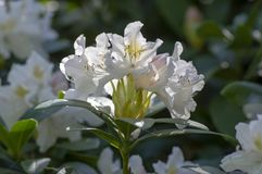 Free Rhododendron Madame Masson White Flowers With Yellow Dots In Bloom, Flowering Evergreen Shrub, Green Leaves Royalty Free Stock Photography - 164334407