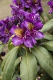 Rhododendron`-Marcel Menard `, Royaltyfria Foton