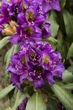 Rhododendron`-Marcel Menard `, Arkivfoto