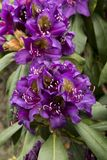 Rhododendron `Marcel Menard`. Beautiful flowers in a uncommon color from a rhododendron Stock Photo