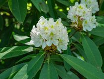 Rhododendron maximum - Great Rhododendron Stock Photo